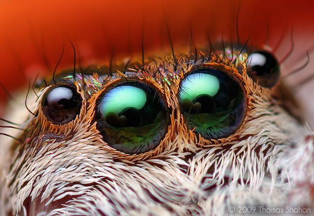 Anterior Median Eyes of an Adult Female Paraphidippus aurantius