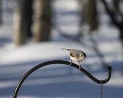 Tufted Titmouse looking for a free lunch on a snowy day 20091220 (fergusonjlf) Tags: bird home virginia birdfeeder titmouse tuftedtitmouse baeolophusbicolor