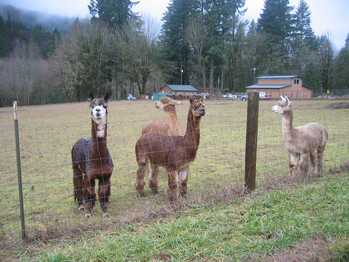 Our favorite alpacas on Dairy Creek Rd