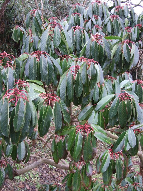 Daphniphyllum macropodum