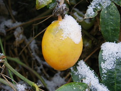 Fruit de la passion (Mariel Chin's) Tags: winter snow macro jaune hiver neige fruitdelapassion pentaxx70