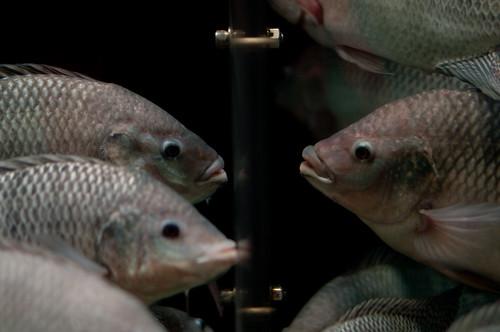 魚のお見合い