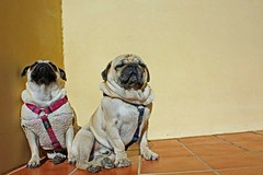 Fotosintesis (Juan Ramón Jiménez) Tags: dog sol canon eos juan pug perro ramon 450 carlino jimenez juanramon fotosintesis 450d juanramonjimenez juanram0n