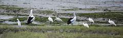 Aus Pelican and Royal Spoonbill (tkmckinn) Tags: birds australia july09