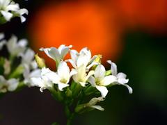 Blanco Naranja (AlfredoZablah) Tags: flores orchid flower nature colors digital reflex orchids expo olympus el colores explore alfredo salvador orquídeas zuiko hdr exposicion mejor mejores bellezas naturales e510 uro 70300mmed xplored zablah alfredozablah