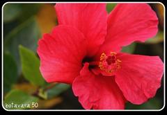 Fusia (botavara_50) Tags: flor hibiscus pacifico