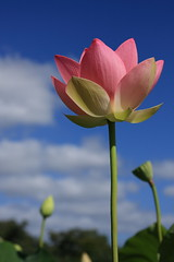 Lotus_Part 5/  -  (kth517) Tags: summer lotus australia yarrajunction   canon24105mm canon40d bluelotuswatergarden victoriastate