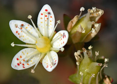 Prickly Saxifrage (Vesuvianite) Tags: wildflower nunavut baffinisland supershot pricklysaxifrage canadianarctic flowersarebeautiful excellentsflowers natureselegantshots mimamorflowers awesomeblossoms flickrflorescloseupmacros panoramafotogrfico thebestofmimamorsgroups saxifragatricupidata