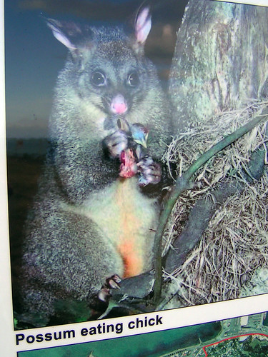 possum eating kiwi chick