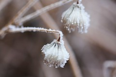 Frosty clematis Puffs (kim_mik) Tags: calgary frost bokeh clematis puff alberta february whorefrost feb72010
