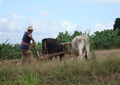 Oxen at Work (Hear and Their) Tags: farming cuba plowing oxen buey ploughing guardalavaca