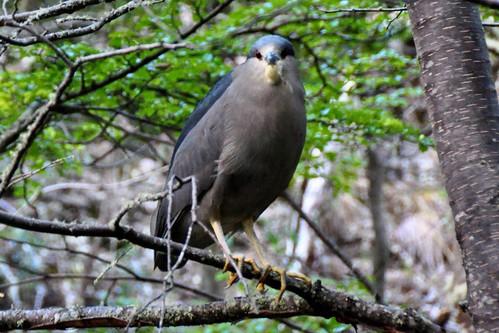 Tierra del Fuego Bird - Garza Bruja