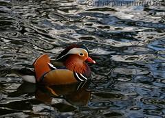 Mandarin Ducks (M.D.Parr) Tags: uk greatbritain england bird nature birds duck wildlife buckinghamshire ducks mandarinduck bucks ornithology aixgalericulata martinparr naturephotos naturepics natureimages