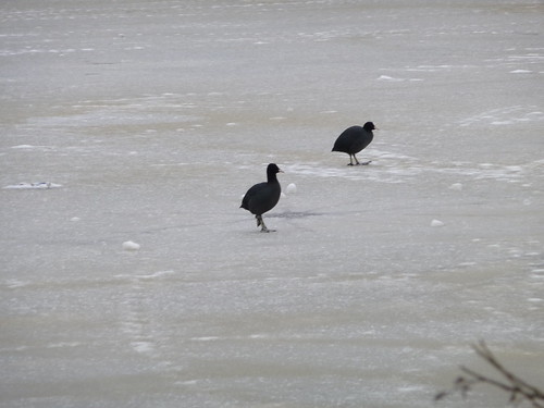 Coots on the Ice