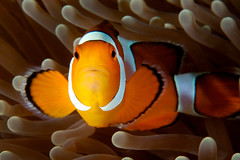 Western Clown Anemonefish - Andaman Islands, India (James R.D. Scott) Tags: india fish underwater anemone havelock marinelife andamans