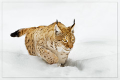 The last resort (hvhe1) Tags: winter snow nature animal cat germany mammal bayern bavaria nationalpark bravo kat wildlife bigcat predator extinct lynx carnivore duitsland naturpark bayerischerwald na
