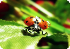 Climbing ~ ! (Anuma S. Bhattarai) Tags: uk nepal macro nature beauty garden photography scotland drops asia edinburgh flickr shot unitedkingdom panasonic ladybird ladybug droplet february cyber nepali sharma abigfave anuma flickrdiamond bhattarai anumasphotography anumasharmabhattarai