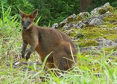 Wallaby-6 (YAZMDG (15,000 images)) Tags: mist fauna forest landscape australia nsw raindrops grasses australianfauna northernrivers rainbowregion goonengerry yazminamicheledegaye northernriversspecies
