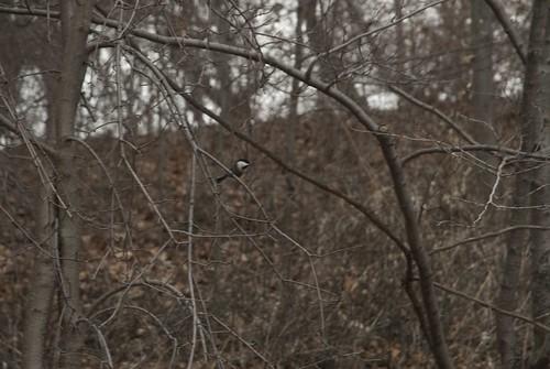 Chickadee: Tree