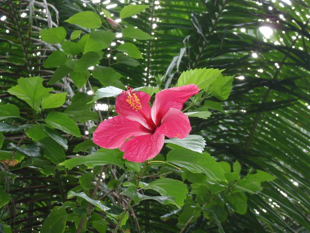 Pink Filipino Orchid