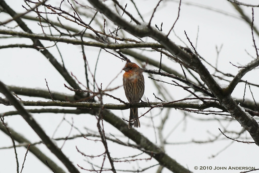 House finch on snow day