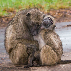 Baboon Love... (Marc_Scott-Parkin) Tags: