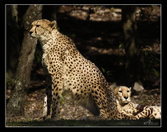 Highness.. (ZiZLoSs) Tags: usa animal canon eos us florida tiger kingdom tigers usm highness aziz abdulaziz  f56l ef400mmf56lusm 450d zizloss  ef400mm 3aziz almanie