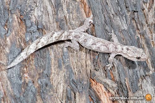 Clouded gecko (Oedura jacovae)