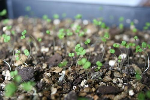 Thyme seedlings - 2 weeks