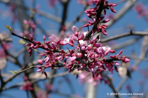 """Cercis canadensis """"Redbud"""""""