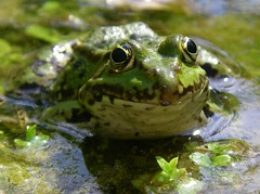 Prince in waiting (katrin glaesmann) Tags: green animal or frog ranaesculenta ediblefrog frommyarchives teichfrosch pelophylaxesculentus pelophylaxklesculentus europeanfrog