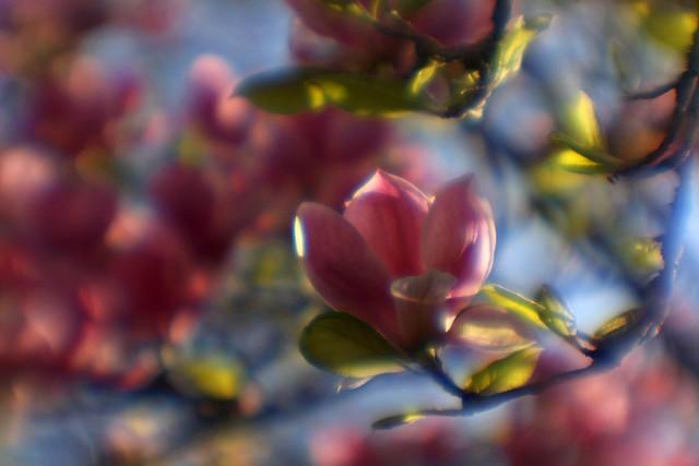 spring (pink)