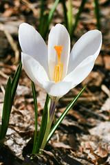 crocus (stupid blue) Tags: flowers spring crocus krokus