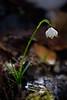 Campanellino (Maver-71) Tags: flowers primavera nature fiori fiore appennino appenninotoscoemiliano bucaneve canon40d appenninosettentrionalealpinatura