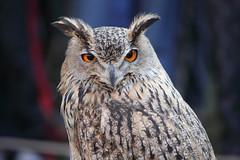 Occhi di fuoco (Emanuele Spano') Tags: life fauna uccelli civetta notturni goldstarawardgoldmedalwinner