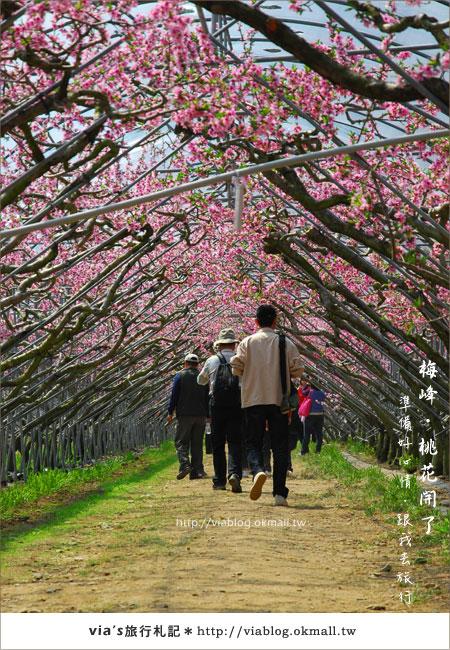 【梅峰農場桃花緣】最美的桃花隧道,就在南投梅峰這裡~(上)16