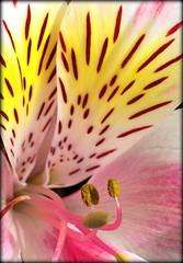 Alstroemeria (aldodalmazzo) Tags: flower macro colombia lily flor polen andes petalos pistilos astromelia alstroemeriaaurea colombianflowers florescolombianas southamericanflowers