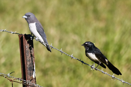White-breasted Woodswallow and Willy Wagtail