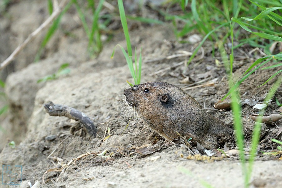 Botta's Pocket Gopher 03101-2