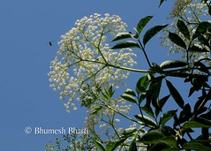 BHB_1109 (bhumeshbharti) Tags: flowers plants tree nature colours natural dehradun fri bharti bhumesh