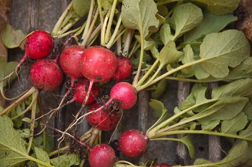 32/365 - Radish Harvest