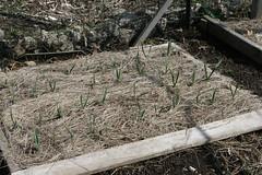 plot 008 garlic sprouts
