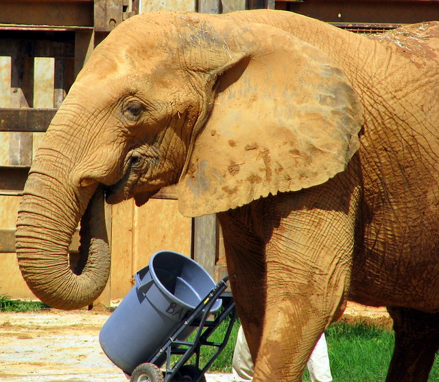 African Elephant - Knoxville Zoo