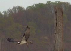 IMG_3812 (SdcRX4) Tags: raptor osprey pandionhaliaetus seahawk