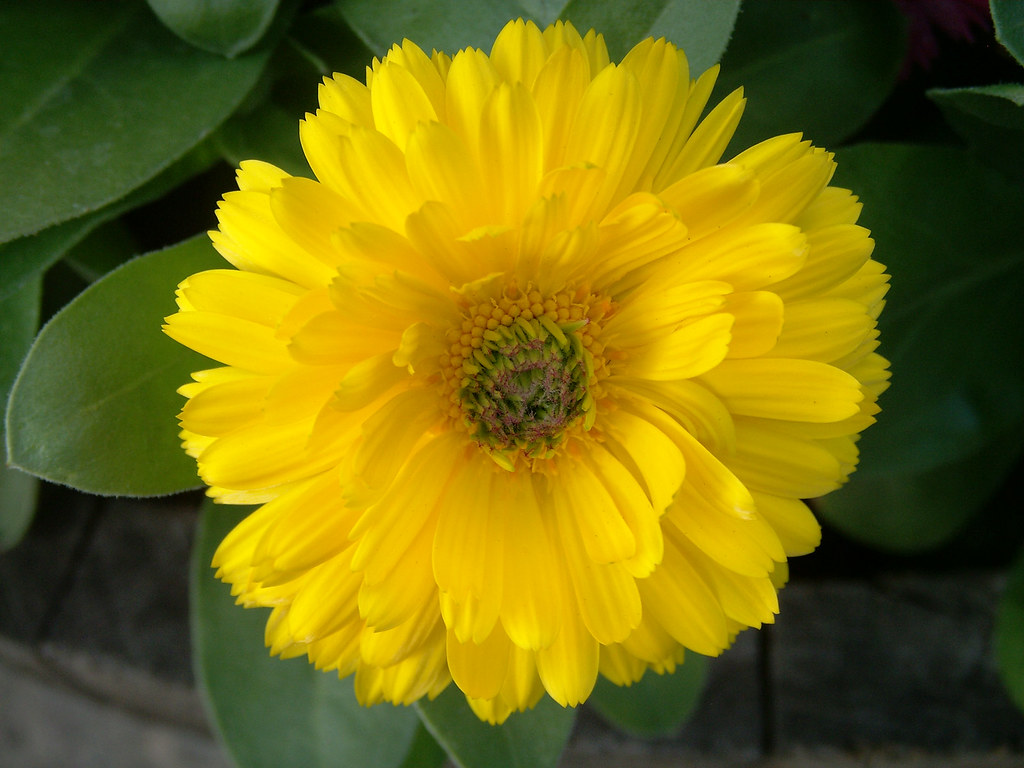 Centered Yellow Flower, with Green
