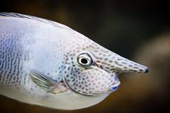 Pinocchio fish (mouzhik) Tags: canon prime aquarium australia melbourne victoria ef50mmf14 poisson acquario acuario australie zemzem muzhik mujik мужик moujik eos40d mouzhik pinocchiofish