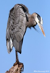 Great Blue Heron (mattlev12) Tags: naturesfinest specanimal avianexcellence