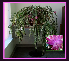 cactus (Sandy*S) Tags: christmas pink cactus nebraska sandhills atkinson ansh scavenger8