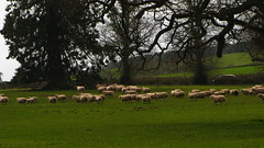 Sheep obeying the call and clamour of a special feed (Dazzygidds) Tags: england sunshine ancient sheep textures devon bark fallowdeer hazy oaks layered powderhamcastle lucombeoak