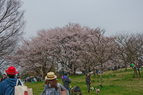 showa kinen sakura